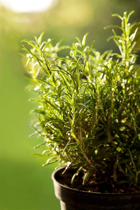rosemary container care tips  growing rosemary  pots