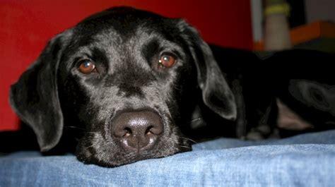 free black lab puppies black labrador retriever free stock photo domain pictures