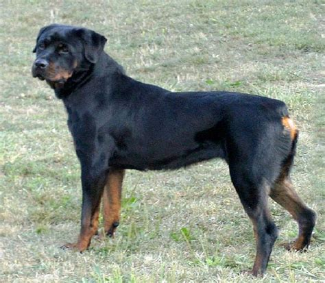 are rottweilers aggressive dogs most aggressive breeds