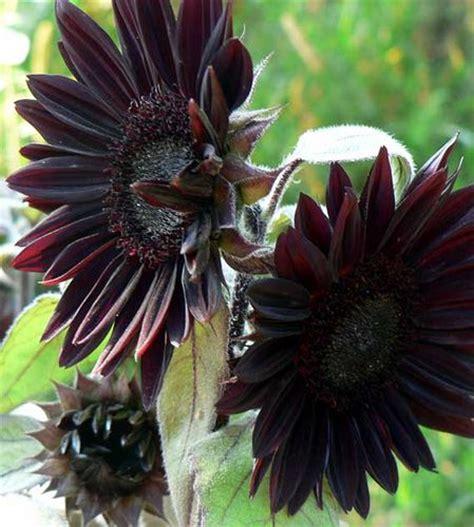 black sunflower gardening pinterest