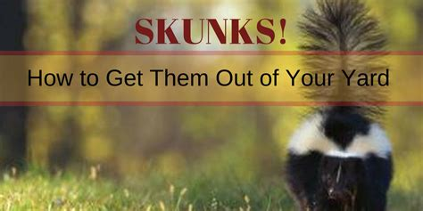 How To Get Rid Of Skunk In Backyard by Crush In Together