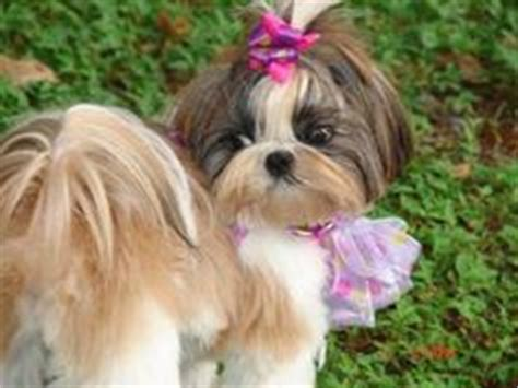 when can i bathe my shih tzu puppy can i cuddle with you puppy meme search humor