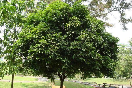Bibit Bunga Matahari Di Bandung jual pohon tanjung di bandung agro sejahtera