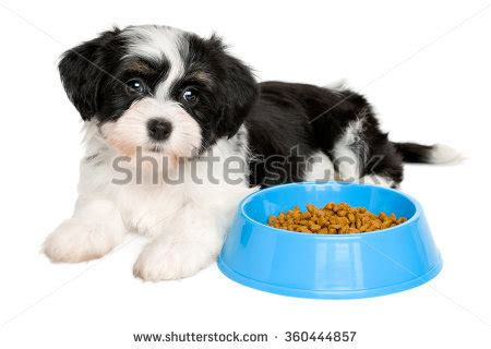 bichon havanese dogs 101 havanese stock photos images pictures