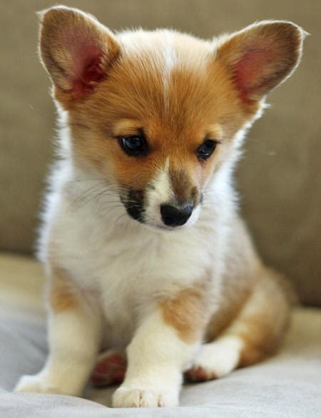 pembroke corgi puppies chewie the pembroke corgi puppies daily puppy