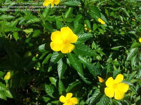 yellow flowered shrub plant identification closed id yellow flowering shrub
