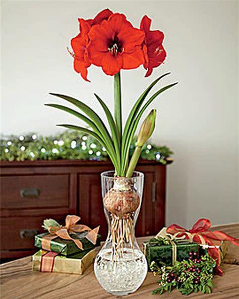Gardeners Supply Amaryllis Amaryllis In A Glass Vase Buy From Gardener S Supply