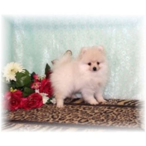 pomeranian rescue ma back forty kennel pomeranian breeder in terry mississippi