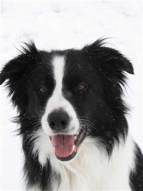 how to not to bark at guests border collie rescue pa