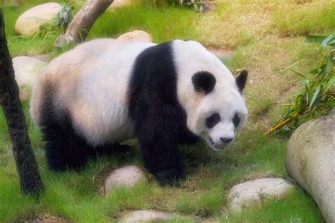 Panda Set By Unique intriguing facts about pandas everyone should
