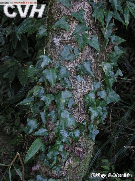 plants that grow in dark rooms 常春藤hedera nepalensis k koch var sinensis tobl rehd