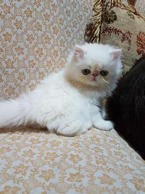 cuccioli gatti persiani persiano gatti annunci animali trovacuccioli