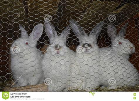 conigli in gabbia conigli di allevamento conigli in gabbia immagine stock