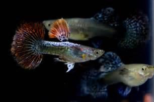 Jual Makanan Ikan Cupang Pekanbaru pets lover indonesia