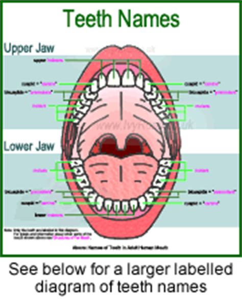 names of teeth diagram teeth names