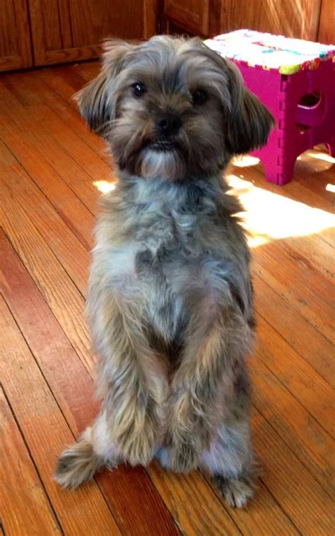 pictures of shorkie dogs with long hair shorkie hair styles shorkie dogs pinterest haircuts for