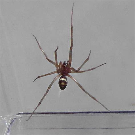california house spiders california house spiders 28 images common house spider parasteatoda tepidariorum