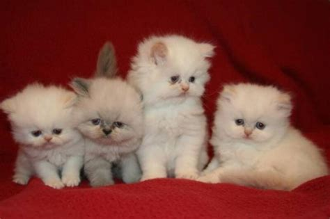 Think Twice Before you Buy A Teacup Persian Cat Kittentoob