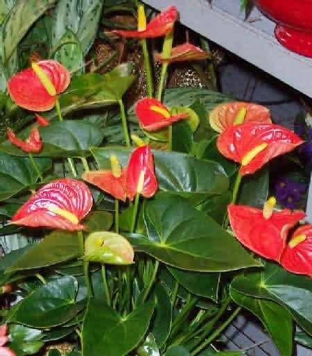 casa di fiori anthurium spp piante da appartamento piante pesci