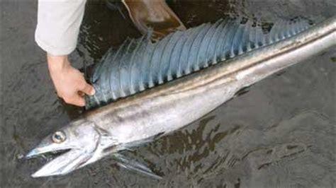 Sho Caviar Berbahaya 10 ikan purba yang masih hidup hingga sekarang ini