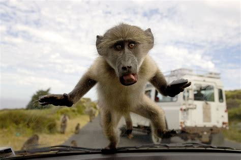 baboons attack cape of is this the end for south africa s famed baboons