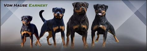 rottweiler breeders in ga top 25 best rottweiler puppies for sale ideas on rottweiler for sale