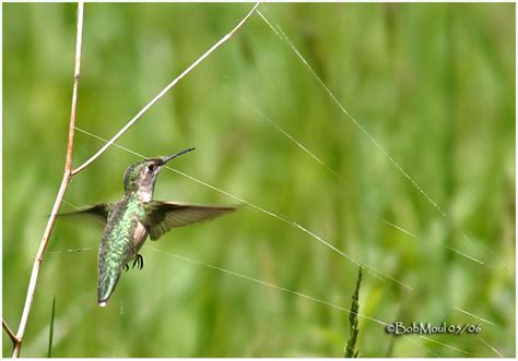 ruby throated hummingbird gathering spider webs to build