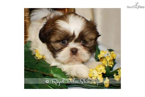 shih tzu puppies omaha shih tzu for sale for 675 near omaha council bluffs nebraska 4809a172 a451