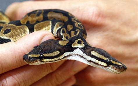 b real snake the destroyer two headed snake is what nightmares