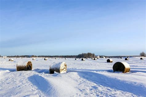 Rancher House prairie winter wheat seen safe under a blanket of snow