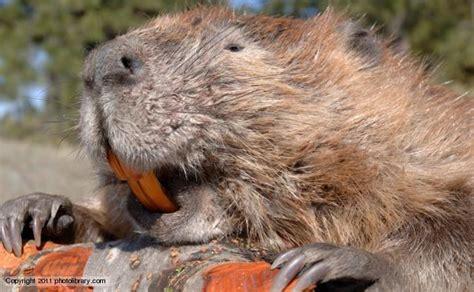 Beaver Pc Thats Actual Beaver Not The Brand Beaver by Beavers Teeth