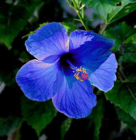 gambar macam macam kembang sepatu manfaat di dalam keindahan bunga