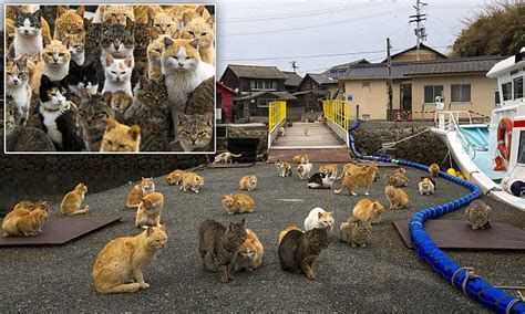 japan s aoshima island cats outnumber humans six to one japan s aoshima island cats outnumber humans six to one