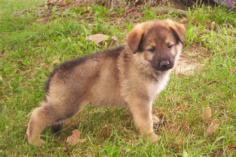 germany shepherd puppies yellow wallpaper german shepherd puppy
