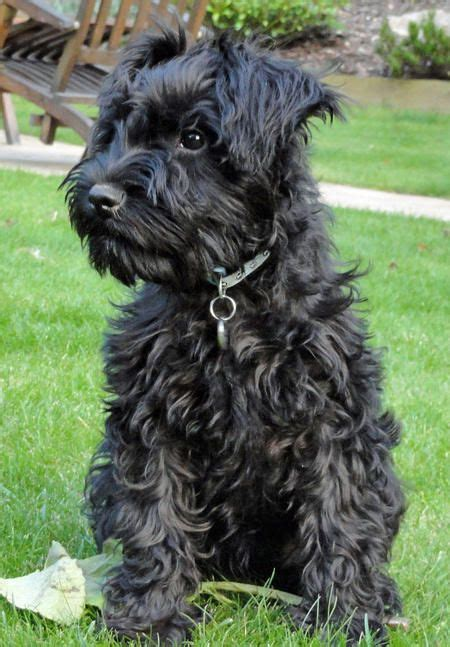 pictures miniature schnauzer with long hair 25 best ideas about miniature cockapoo on pinterest toy