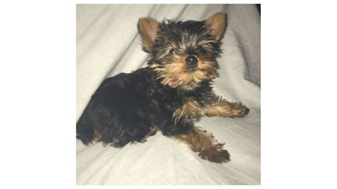 12 week yorkie you seen bubbles the 12 week yorkie wjla