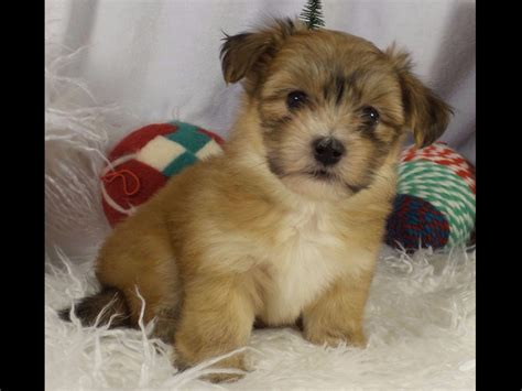 akc havanese breeders new york havanese puppies for sale akc marketplace