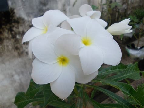 plumeria pudica common name botanical names wild plumeria