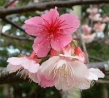fiore di ren significato fiore di ciliegio significato fare di una mosca
