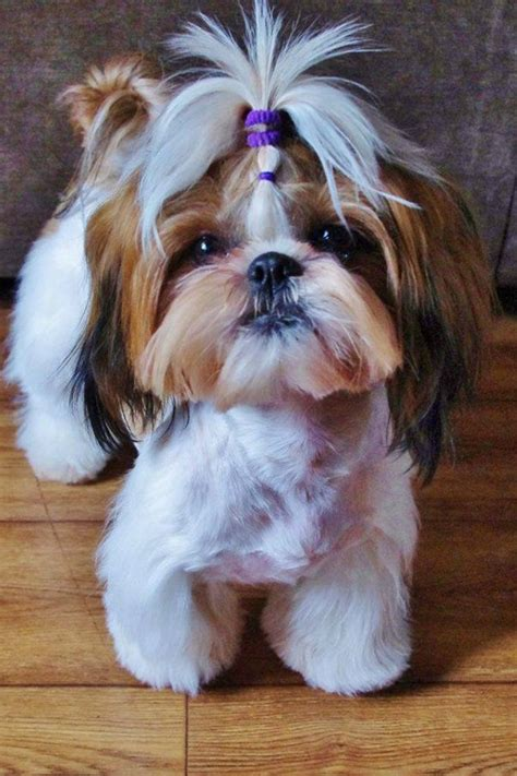 how much is shih tzu puppy 12 reasons why shih tzus are dangerous dogs