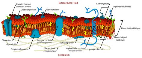 diagram of a section of a cell membrane plasma membrane