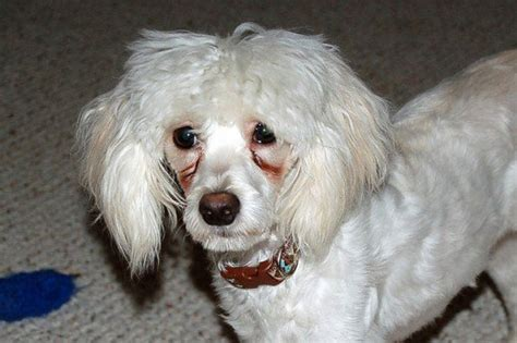 eye stains poodle eye stains dogs our friends photo