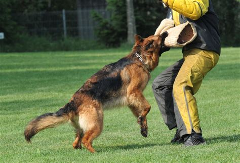 how to a german shepherd to attack german shepherd attack images 2013 14 beautiful and dangerous animals