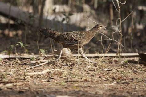 Anakan Ayam Hutan Betina suara ayam hutan betina binatang peliharaan