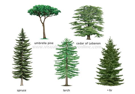 define tree plants gardening plants conifer examples of