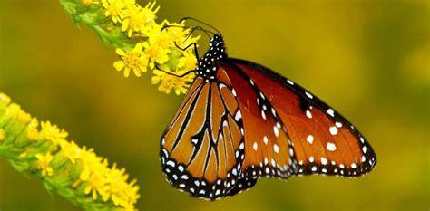 imagenes las mariposas alas de la mariposa monarca im 225 genes y fotos