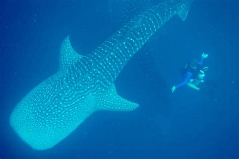 dive with whale sharks diving with whale sharks in sulawesi indonesia