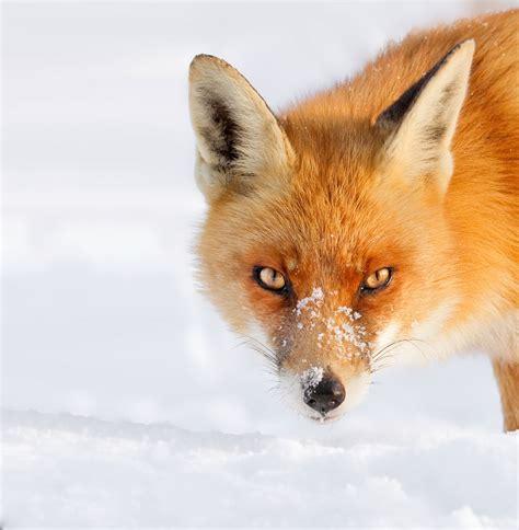 imagenes de zorros tristes 50 sombras de blanco con un toque de rojo zorros en