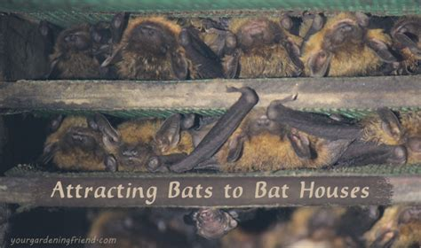 attracting bats to bat houses yourgardeningfriend com