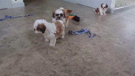 havashu puppies for sale havashu puppies for sale puppies